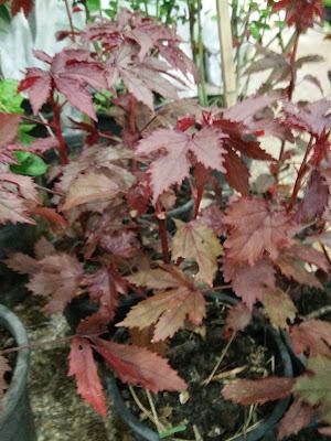 ชบาเมเปิ้ล(Hibiscus acetosella)
