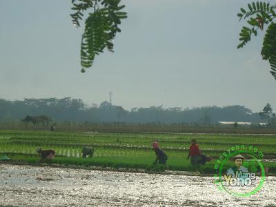 FOTO 3 : Tanam Padi Genjah TRISAKTI Di Sawah Tegalsungsang Blok Timur Untuk MT2
