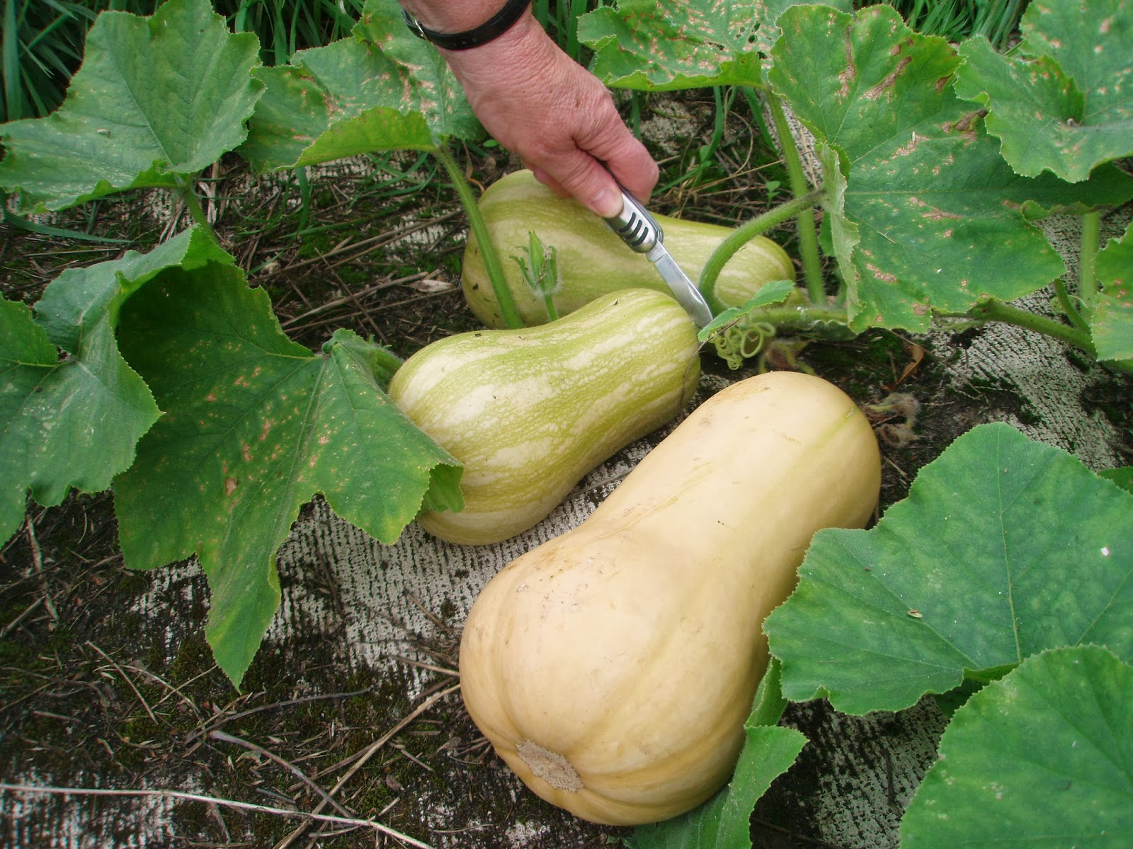 How to grow butternut squash in pots or containers