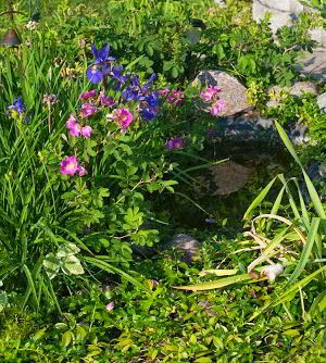 Small garden pond surrounded by Dutch Iris, Wild Roses and Vinca.