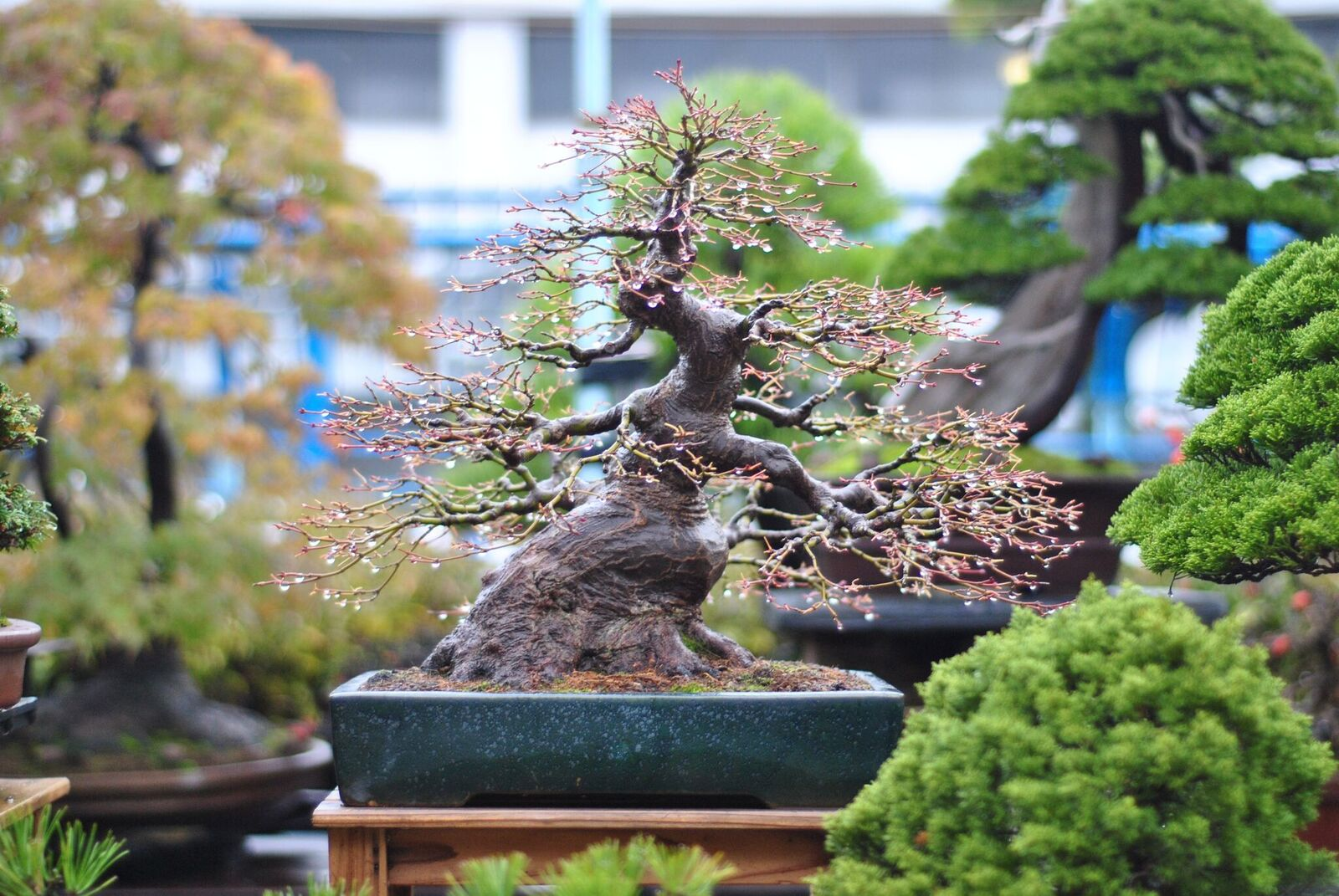 Walter Pall Bonsai Adventures Bonsai Intermediate Course Online Now