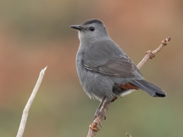 Grey Catbird – Cornwall – 18th-23rd October