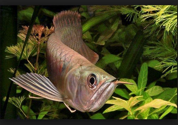 Jenis Ikan Hias dan Harganya - Ikan Arwana