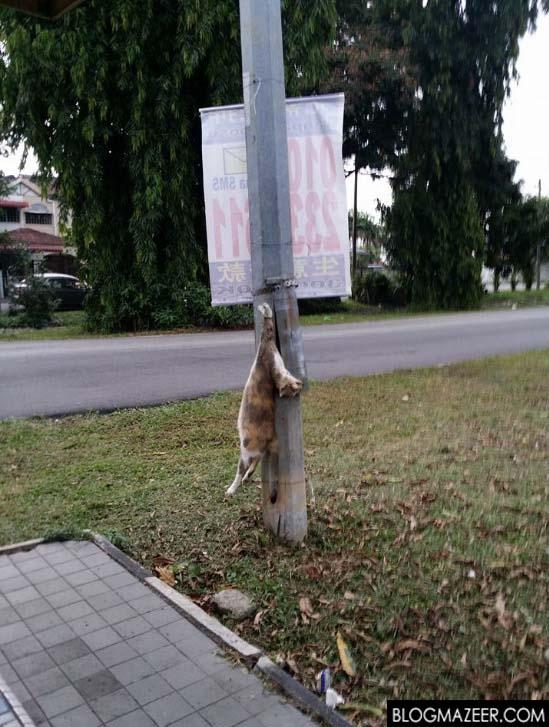 Gambar Kucing Dililit Dawai, Digantung Di Tiang Elektrik Di Klang