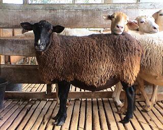 gambar domba garut muda   usahaternak