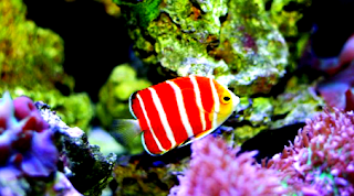 Gambar ikan Peppermint Angelfish