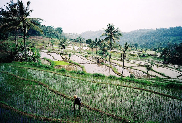 Terrace rice fields of Bali in Indonesia