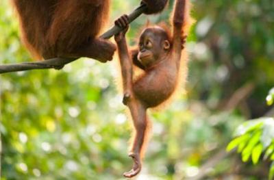 Fakta Mengenai Orangutan Kalimantan