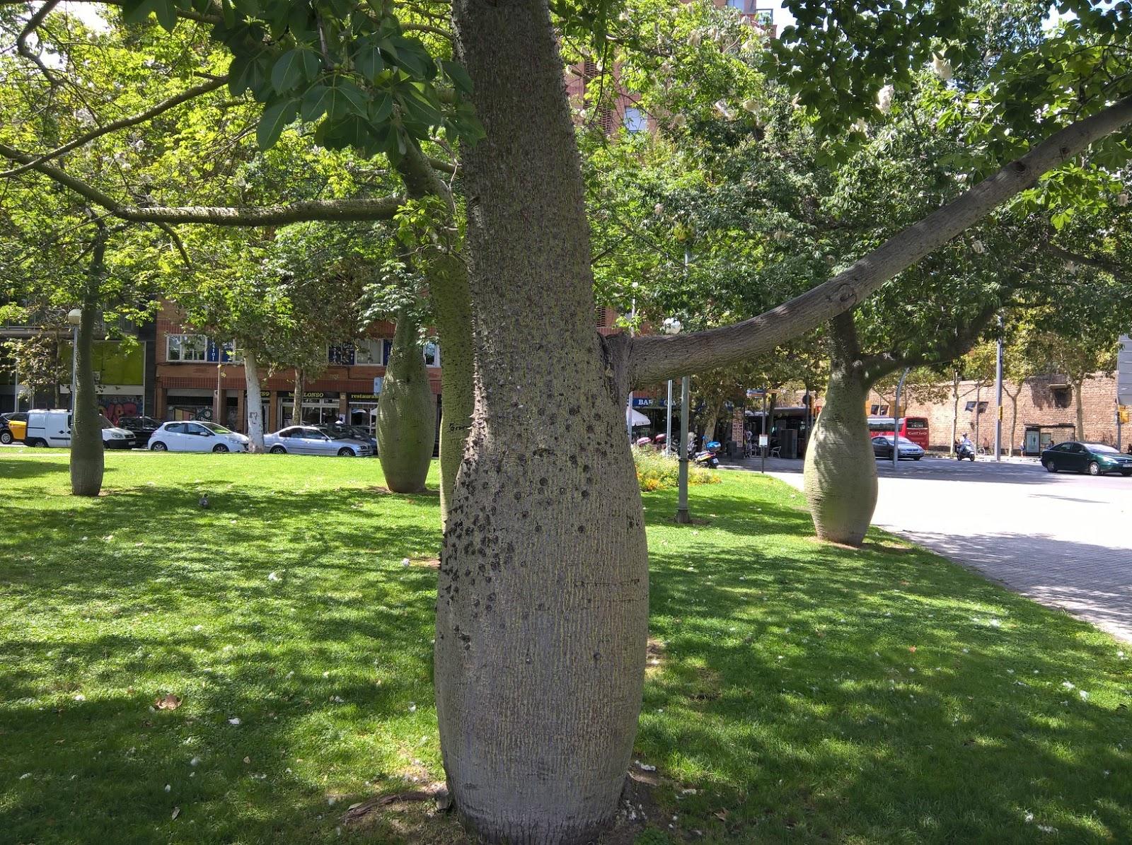 Immagini Di Piante E Alberi il gusto della natura: ceiba (chorisia speciosa), l'albero