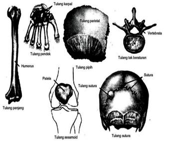 Perkembangan Dan Pertumbuhan Tulang Serta Penggolongan Tulang