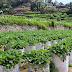 Pick Your Own Strawberry Gardens in Banjarnegara
