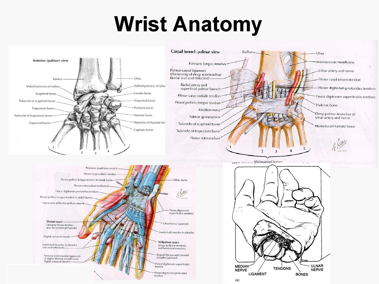 Blood Supply, Venous drainage, surface anatomy and Nerve supply to ...