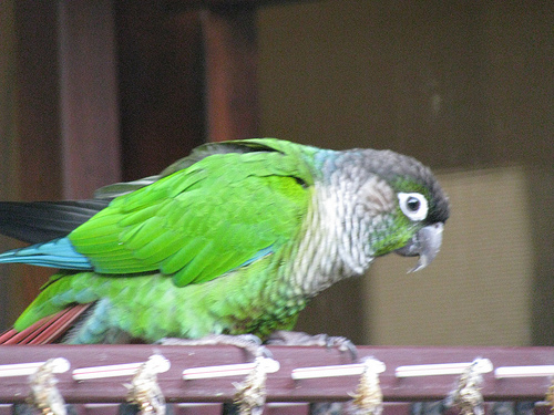Parrot Species: Green-cheeked Conure (Pyrrhura molinae ...