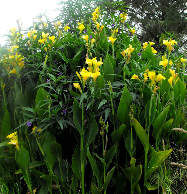 a colonised clump of yellow canna lilies in my garden