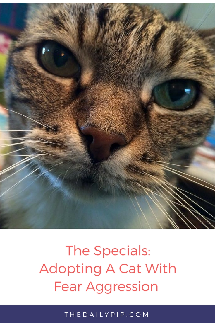 How to Adopt and Help A Cat With Fear Aggression