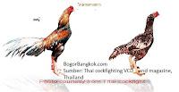 Ayam Jago Bangkok dan Ayam Betina