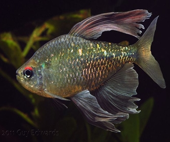 Diamond Tetra, Moenkhausia Pittieri (Eigenmann, 1920)
