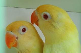 Cara Mengatasi Lovebird Over Birahi Dengan Mudah