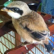 Burung Cendet - Penyakit Mencret yang Menyerang Burung Cendet dan Cara Penangannannya - Penangkaran Burung Cendet