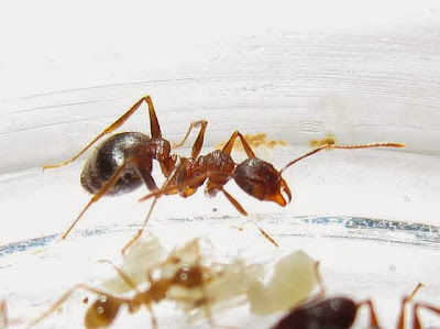 The median worker of a rare Pheidole species