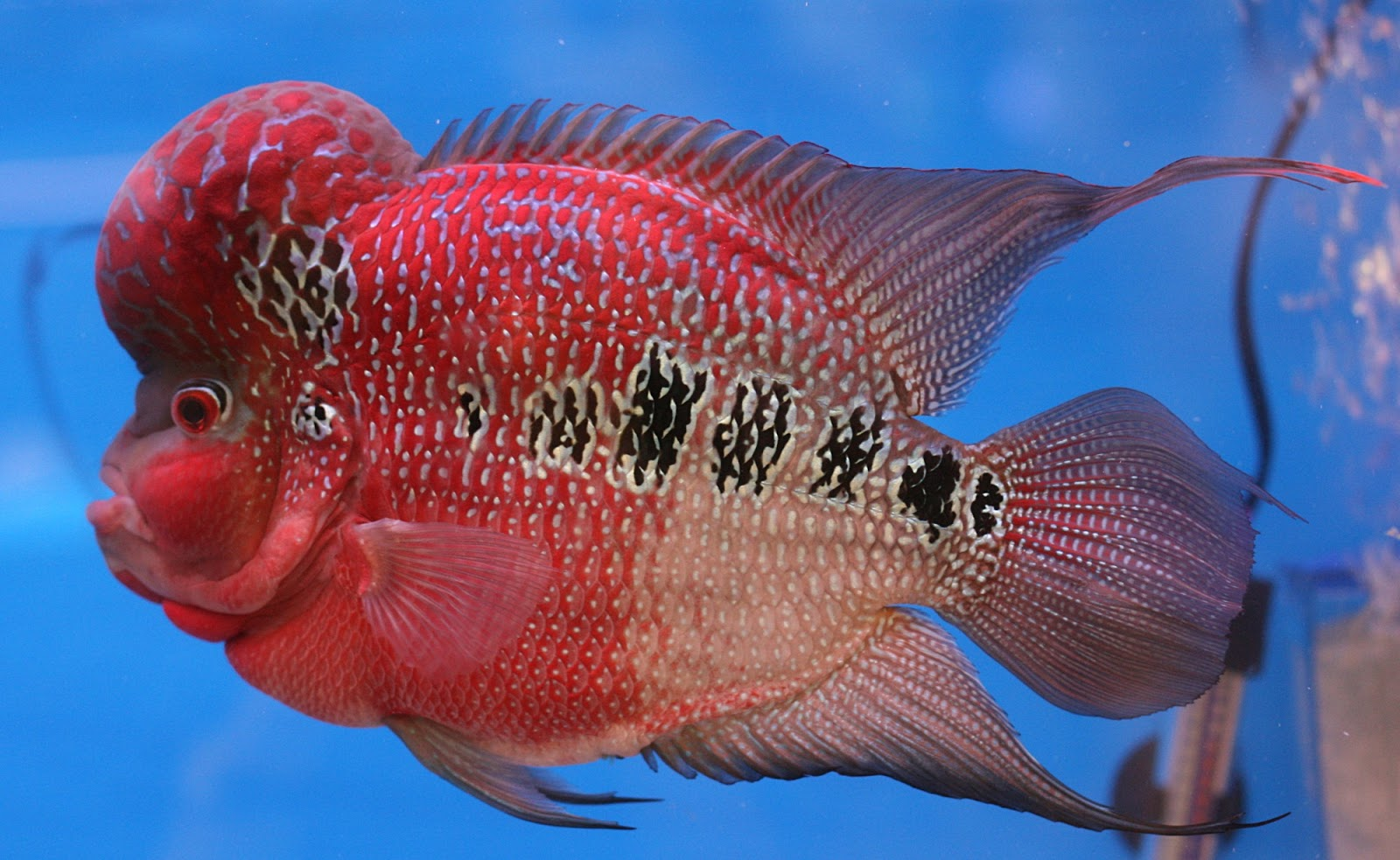 Flower Horn Is Also Most Por In Fish Keeping Hobby It Said To Be Feng Shui Because Of Bringing Fortune Luck The Owner