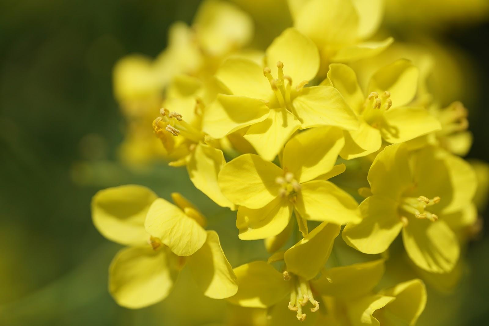 真ん丸でほわほわの菜の花