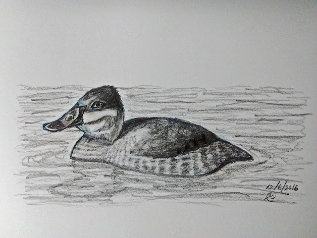 Ruddy Duck sketch by Greg Gillson