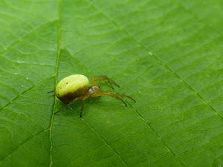 Araignée courge - Epeire concombre - Araniella cucurbitina