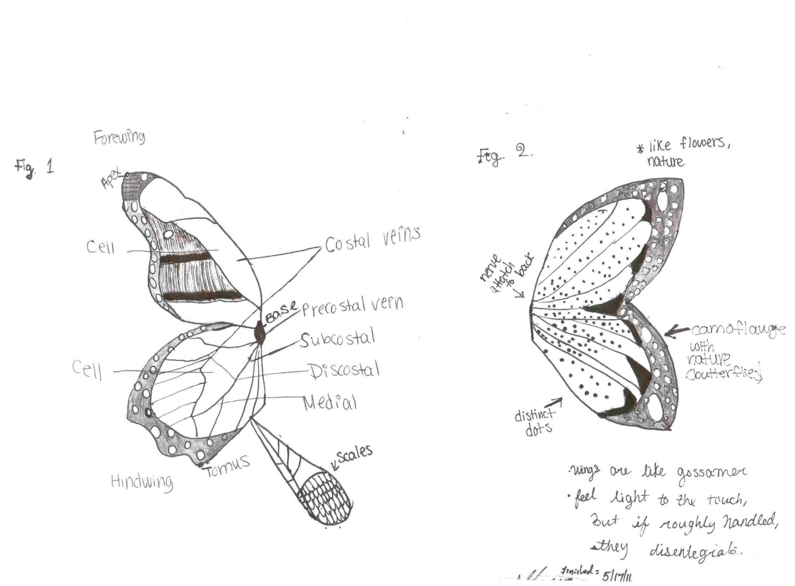 Skylantis Anatomy And Physiology Part 1 Fairy Wings