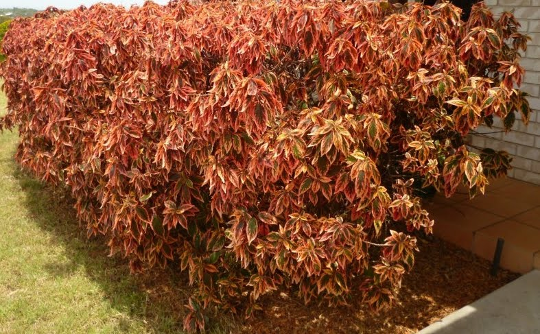 Photography With Dr Ernie Plant Firestorm Hedge Acalypha
