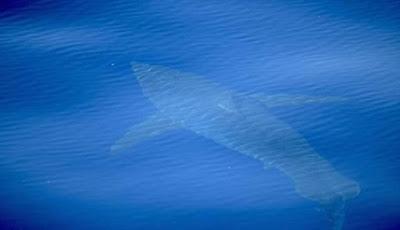 Tertangkap kamera hiu putih raksasa