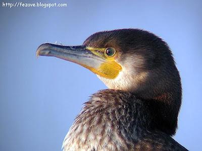 Cormorán grande (Phalacrocorax carbo)