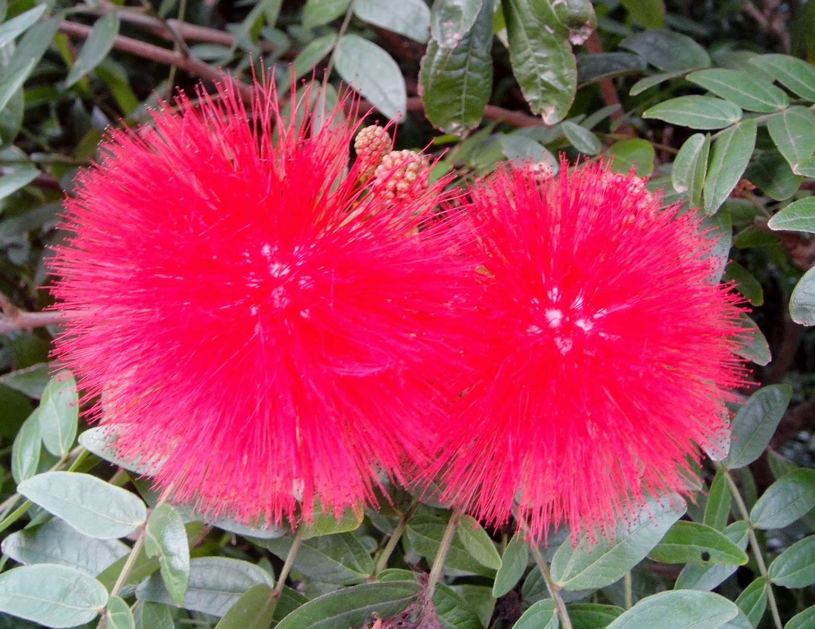 DWAN雲之端: 美洲合歡---與紅粉撲花還是不太一樣喔,圖片和美工照片 - 178-7-021.jpg