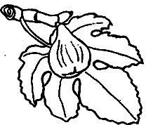 Dibujo de un higo para niños