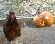 can you feed pumpkins to pigs, can you feed pumpkins to chickens, natural pig wormer, pig dewormer, uses for pumpkins, white polish chicken, Cinnamon Queen, , Blue Silkie,