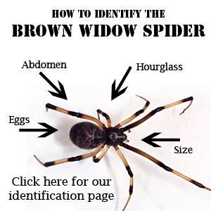 GLITZY GARDEN DECOR: THE BROWN WIDOW SPIDER LURKS IN SoCAL