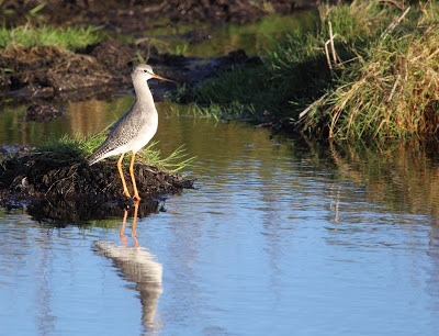 Spotted Redshank, Pennington Marsh - Simon Colenutt, The Deskbound Birder