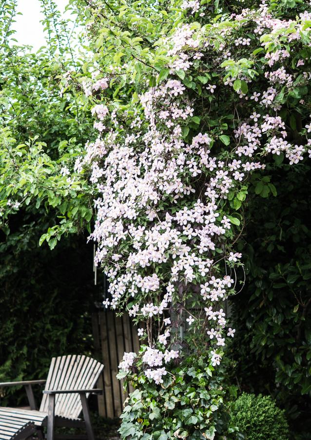 Blog + Fotografie by it's me! | fim.works | Typisch für meinen Garten | von Clematis bewachsner Apfelbaum | Adironduckchair