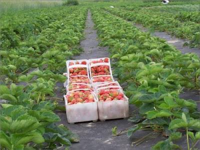 Посадка полуниці під агроволокно