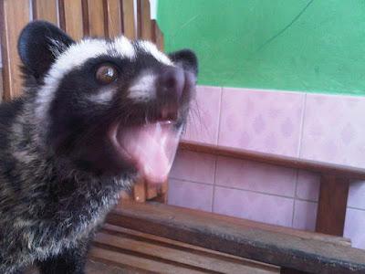 Cara menjinakan musang pandan