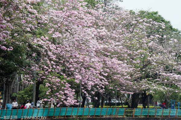 台中南區|興大綠園道|綠川河畔風鈴木|台中最長洋紅風鈴木步道|江川公園