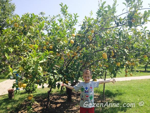 meyvesi üzerinde mis kokulu limon ağacının altında oğlum, Yonca Lodge Fethiye