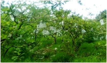 Pohon Jambu Taiwan.