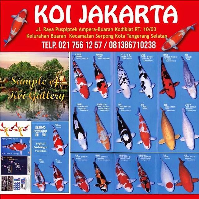 Ikan Koi Lokal