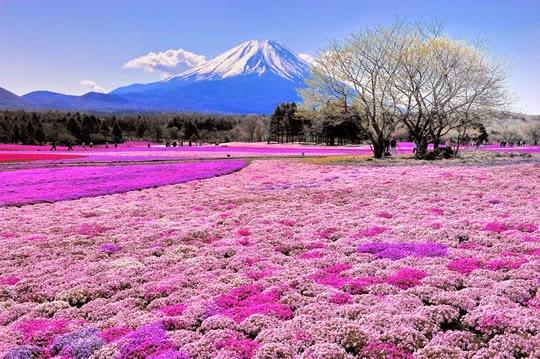 fuji shibazakura festival terletak di daerah yang menawarkan pemandangan luas ladang bunga dengan gunung latar belakang