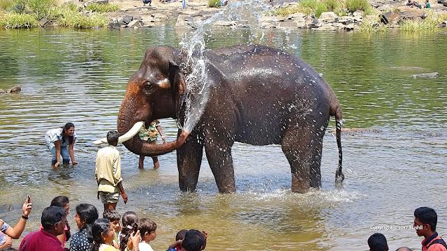 Bathing Elephant in Dubare Elephant Camp, Coorg, Karnataka