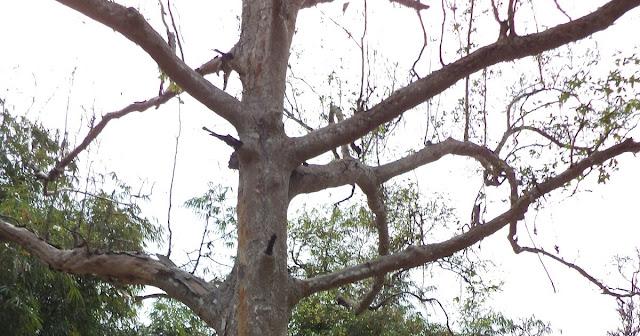 Pohon Temabga