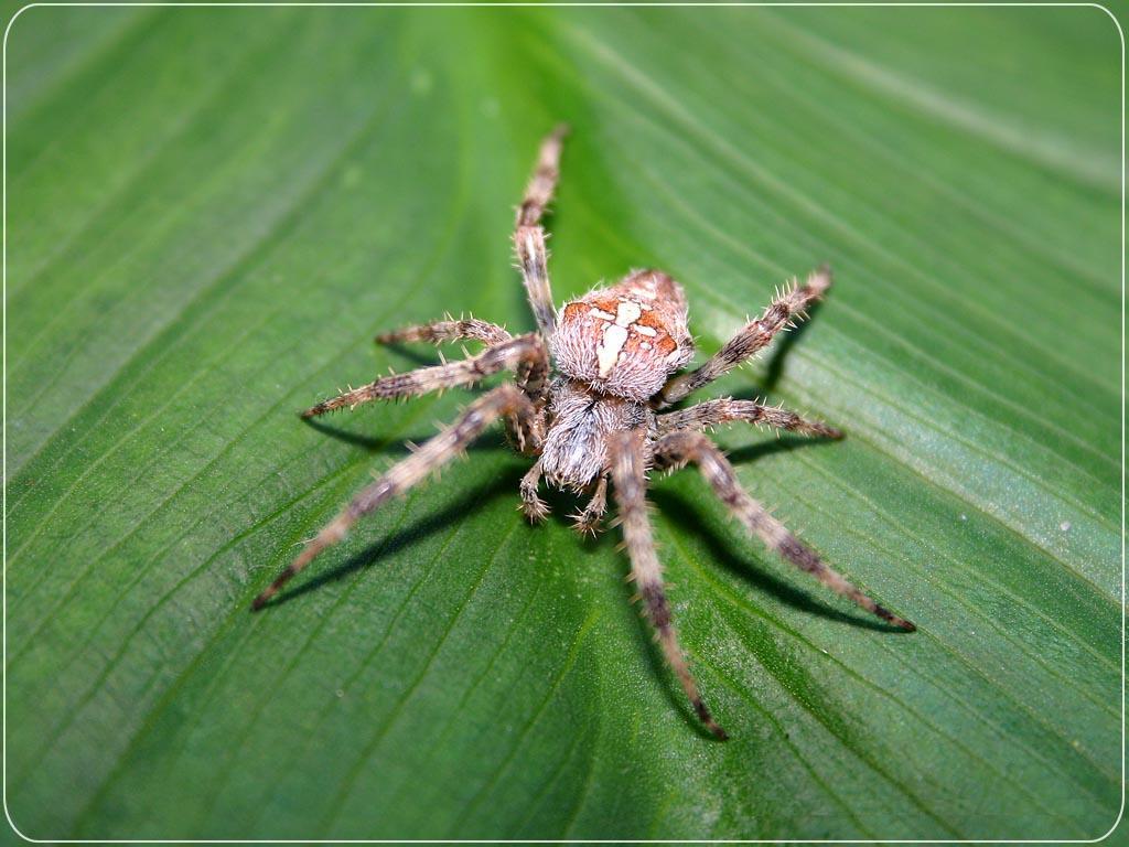Barn Spider Wallpapers Fun Animals Wiki Videos