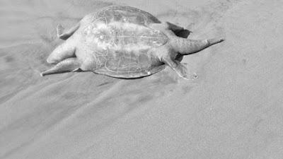 Fenómeno de Mortandad de tortugas en México, Guerrero.