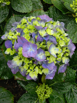 Florist Hydrangea at the Centennial Park Conservatory 2018 Easter Flower Show by garden muses-not another Toronto gardening blog